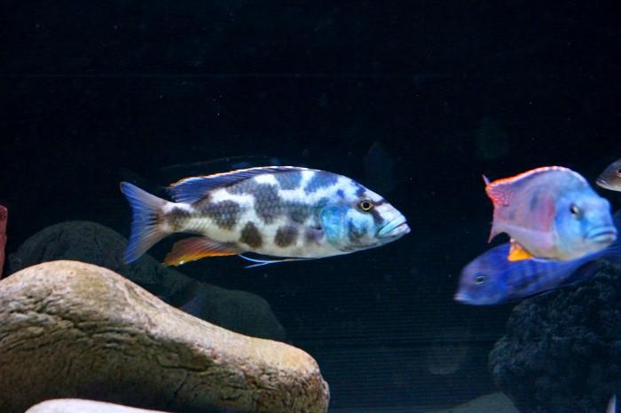 Nimbochromis livingstonii C