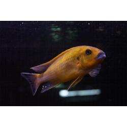 """Pseudotropheus williamsi """"blue lips"""""""