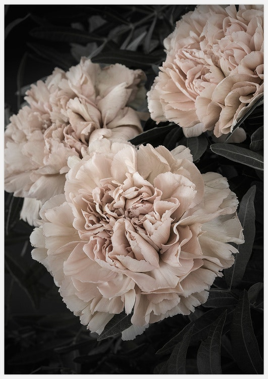 Champagne colored Carnation