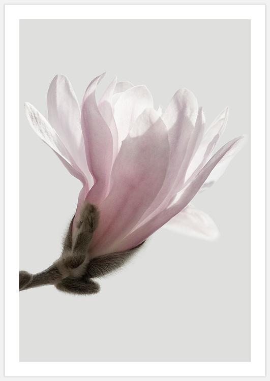 Beautiful pink Magnolia