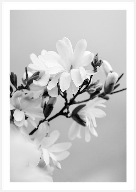Magnolia black & white 2