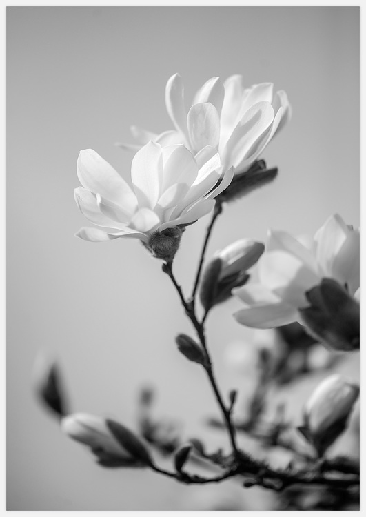 Magnolia, black & white