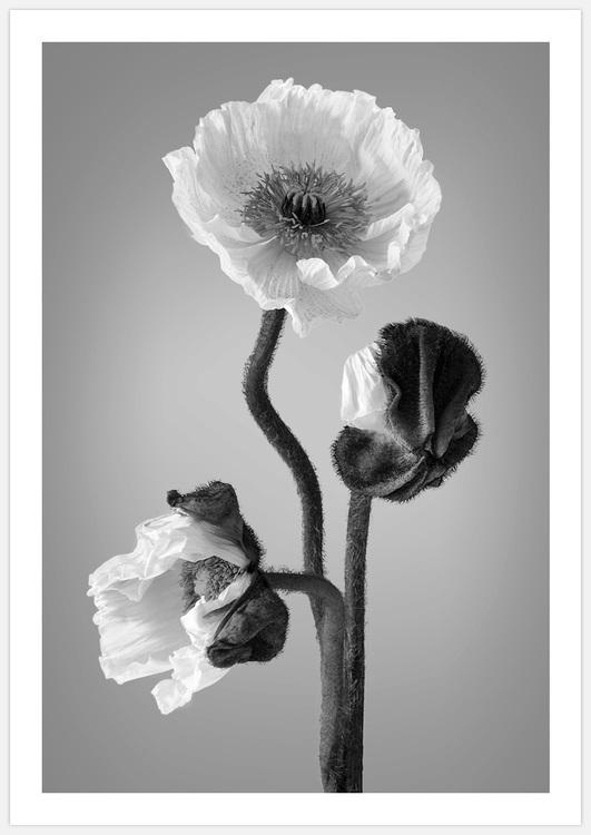 Poppy black & white