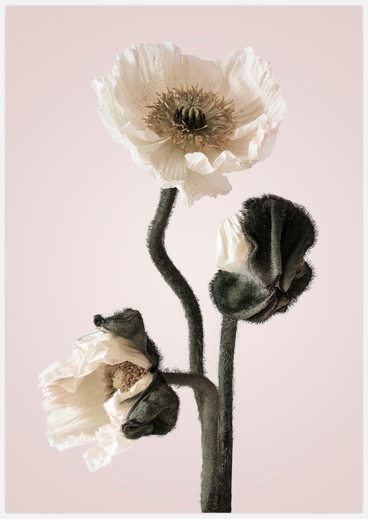 White Poppy in pink