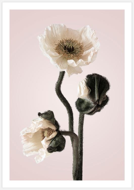 White Poppy in pink