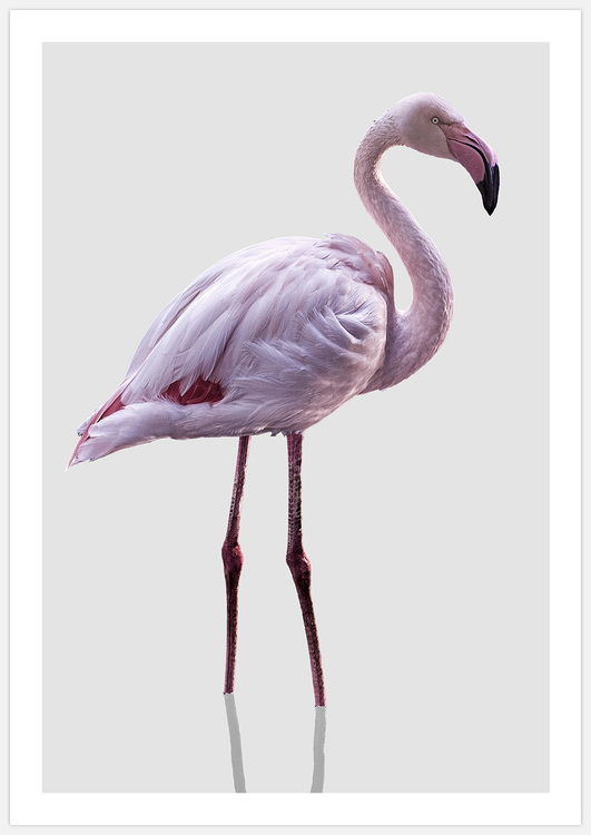Flamingo on grey
