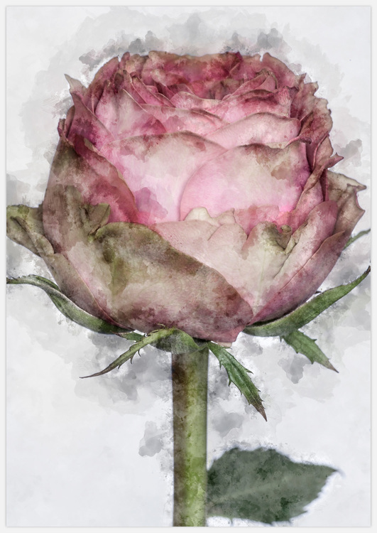 Painted rose on grey
