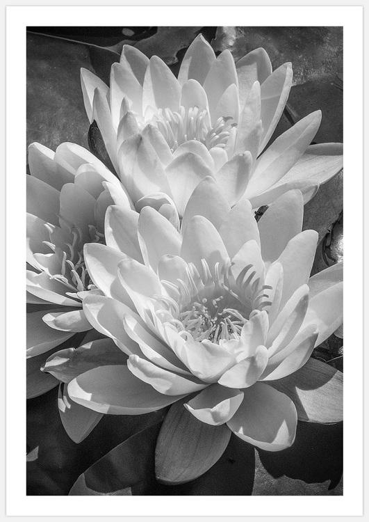 Tavelvägg Water Lilies