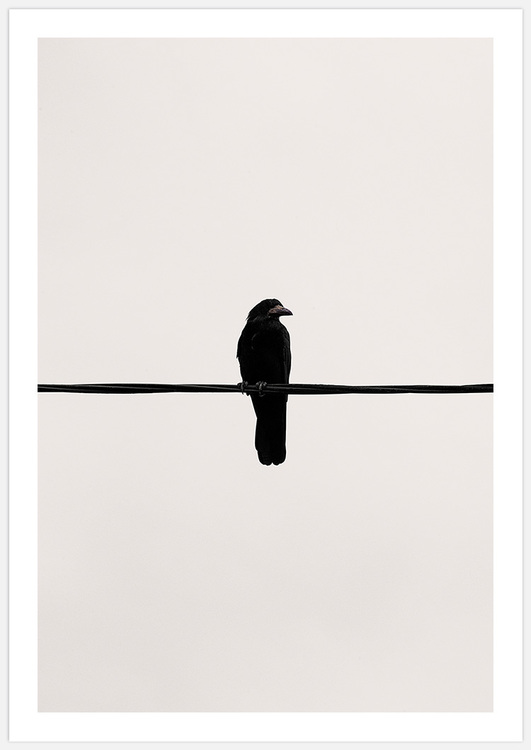 Crow on a wire