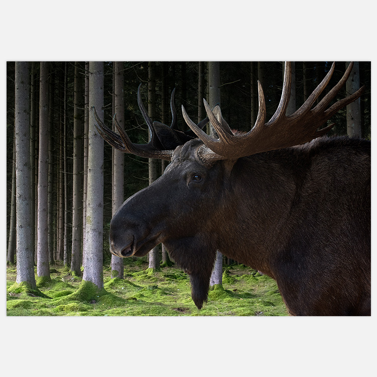 Moose in the woods