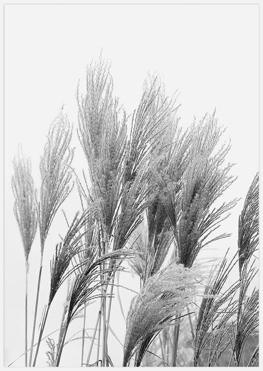 Reeds in black & white 3