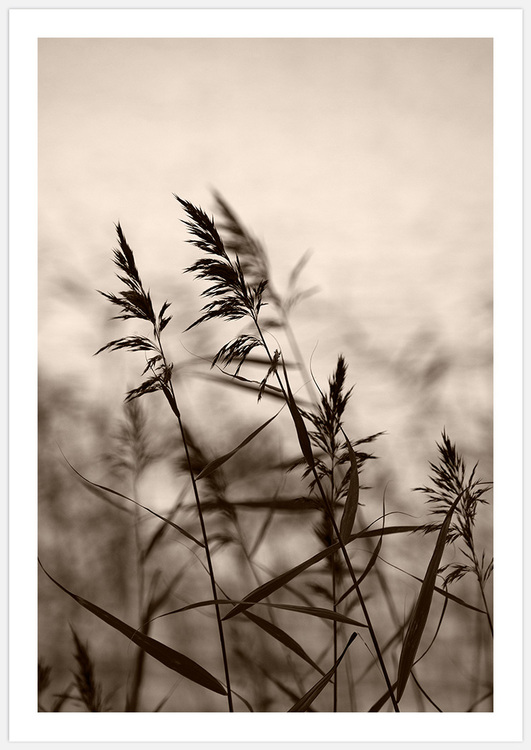 Reeds in evening light 3