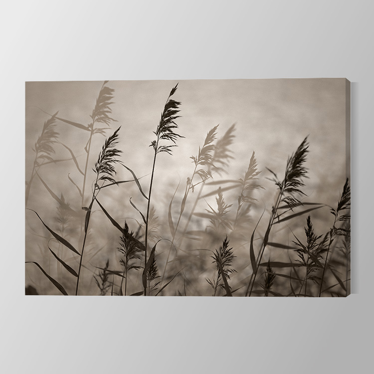 Reeds in evening light Canvas