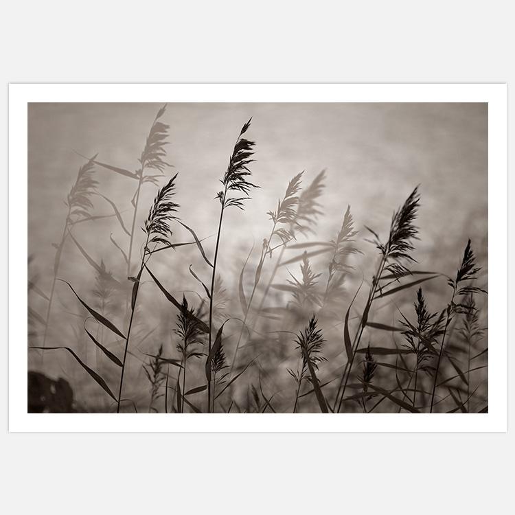 Reeds in evening light warm