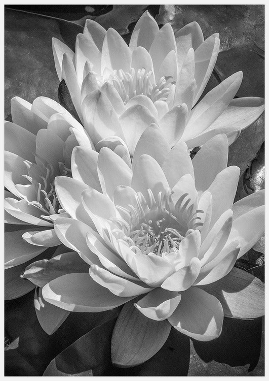 Splendid Water Lilies