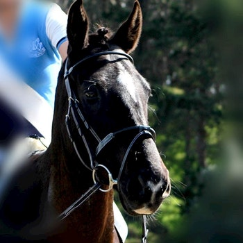 Silver Crown rond bridle träns full