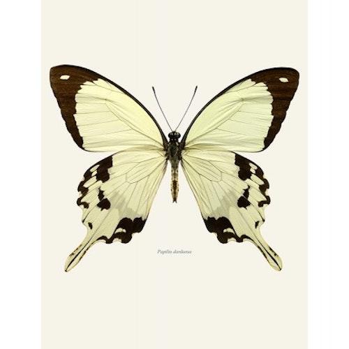 Macro Photography Papilio Dardanus 30x40cm