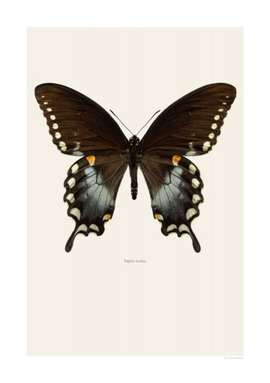 Macro Photpgraphy Papilio Troilus 30 X 40cm