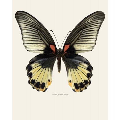 Macro Photography Papilio Memnon 30 x 40cm