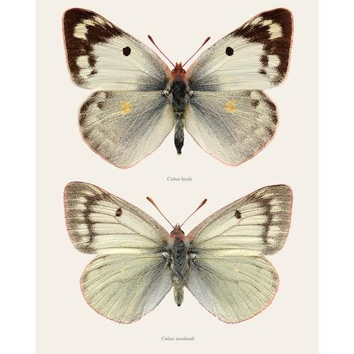 Macro Photography Pieridae White