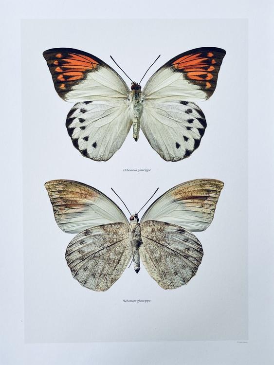 Macro Photagraphy Hebmoia glaucippe 30x40cm
