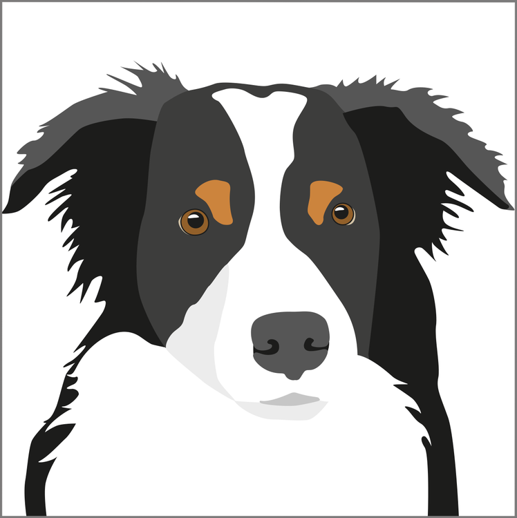 Kort Border Collie