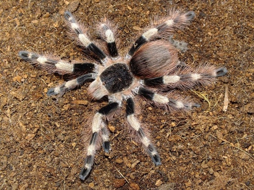Nhandu coloratovillosus L1