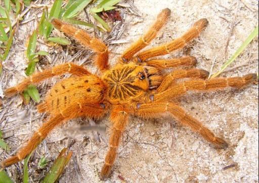 Pterinochilus Murinus USAMBARA L2