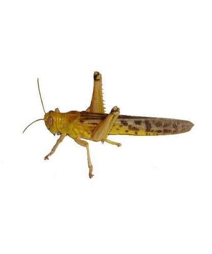 Gräshoppor stora 100 pack