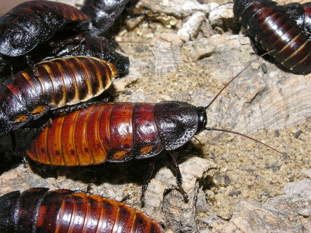 Väsande kackerlacka vuxna
