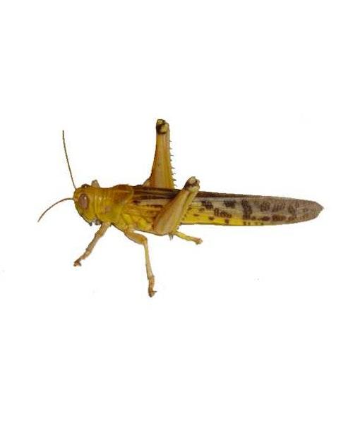 Gräshoppor små