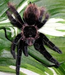Tliltocatl sp. angustum (ex. Brachypelma) (2.5cm)