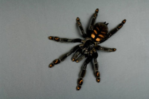 Psalmopoeus irminia (1,5 cm )