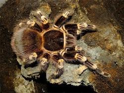 Acanthoscurria geniculata L2