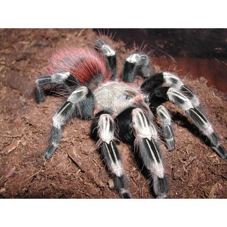 Nhandu chromatus (4,5cm )