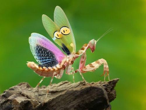Creobroter gemmatus  L3/4