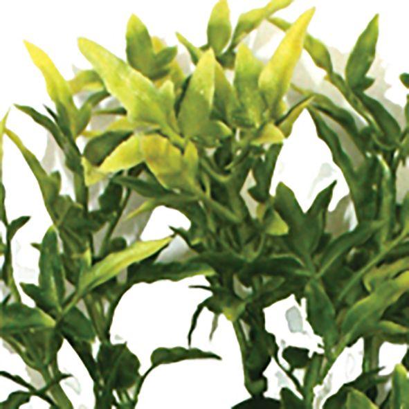 Croton plant 30 cm