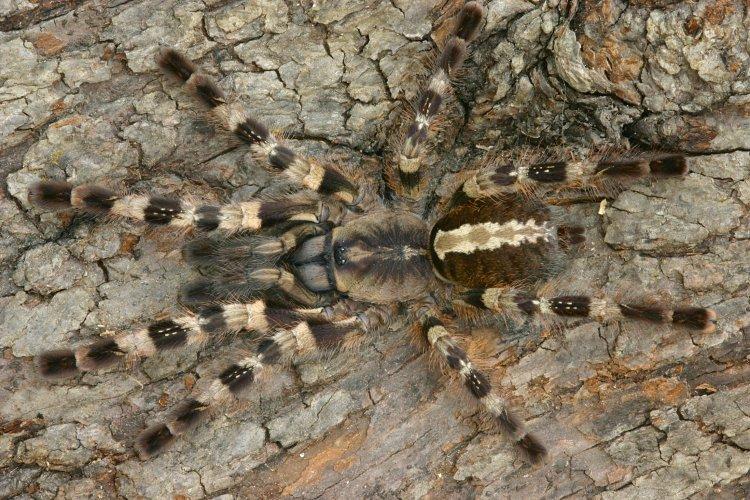Poecilotheria tigrinawesseli L3