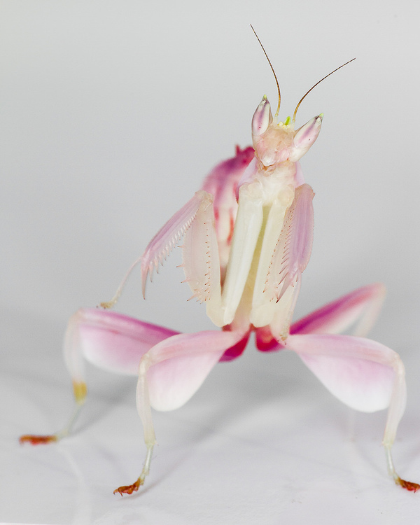 Hymenopus coronatus Orchid mantis L3/L4