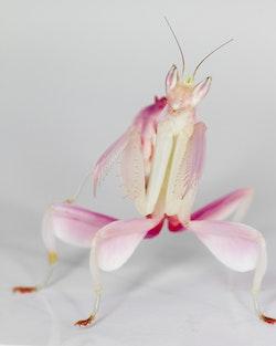 Hymenopus coronatus Orchid mantis L5