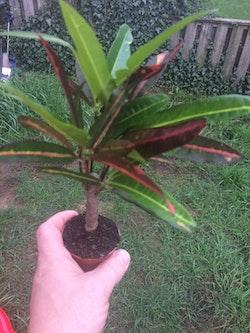 Miniatyr växter