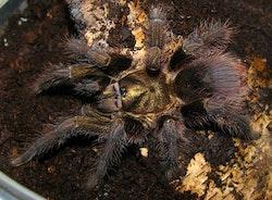 Pormictopus auratus 1,5 cm