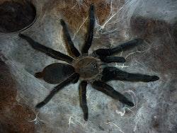 Chilobrachys dyscolus black 1,5 cm