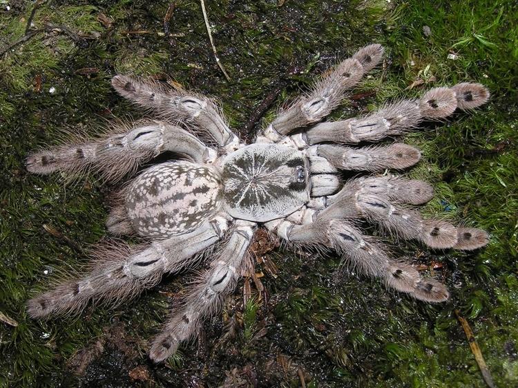 Heteroscodra maculata 1 cm