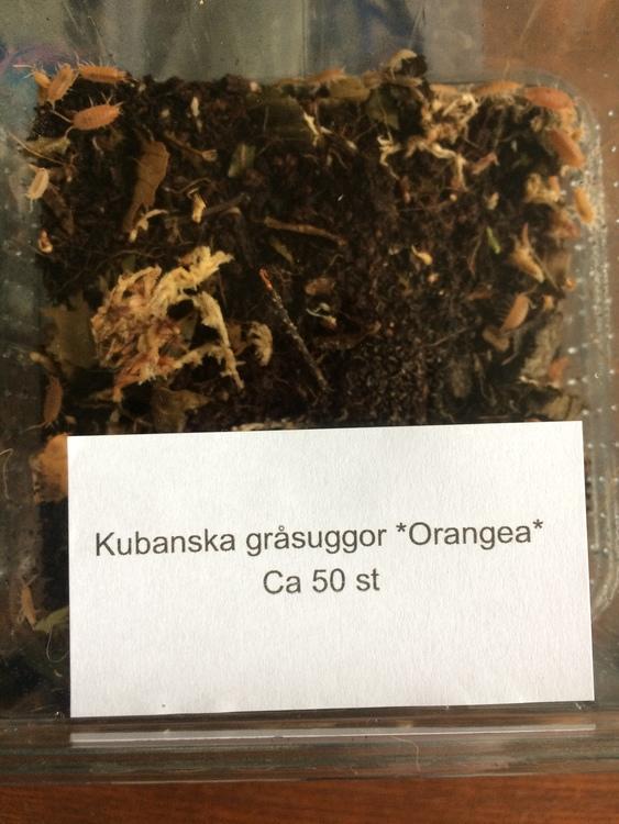 "Kubanska gråsuggor ""orangea"" ca 50 st"