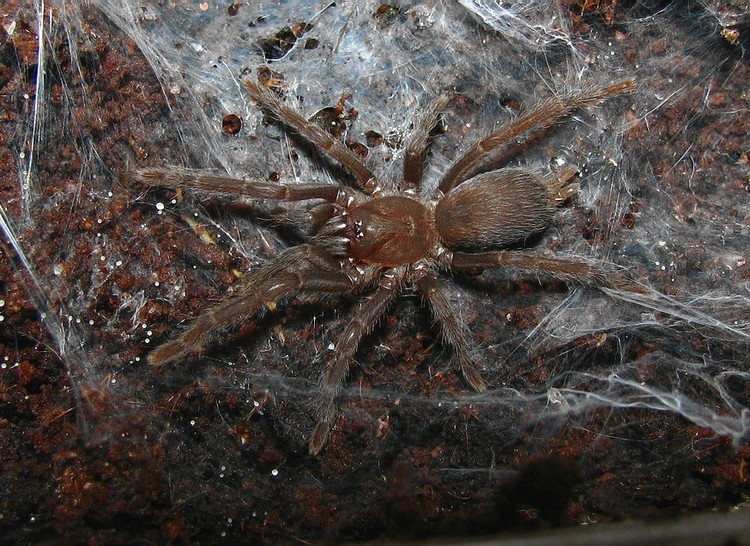Orphnaecus sp negros 3,5cm