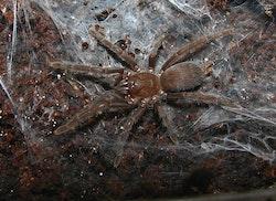 Orphnaecus sp negros