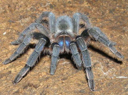 Aphonopelma crinirufum (2 cm )