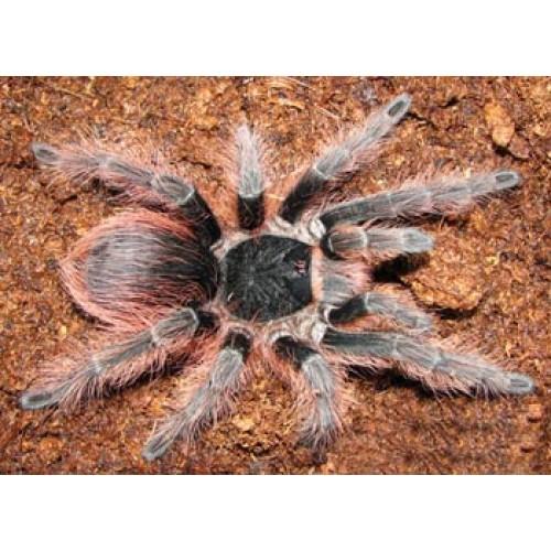 Nhandu carapoensis 4 cm