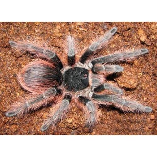 Nhandu carapoensis (1 cm)